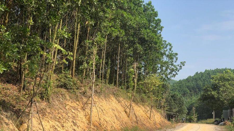 Kỳ lạ, hàng cây tiền tỷ 'tự mọc' trong khuôn viên dự án ở Quảng Ninh