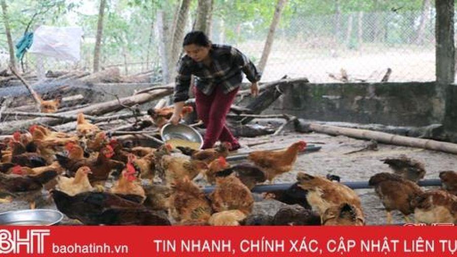Nuôi lợn gặp khó, người dân bãi ngang ven biển Hà Tĩnh 'chăm' gà an toàn sinh học