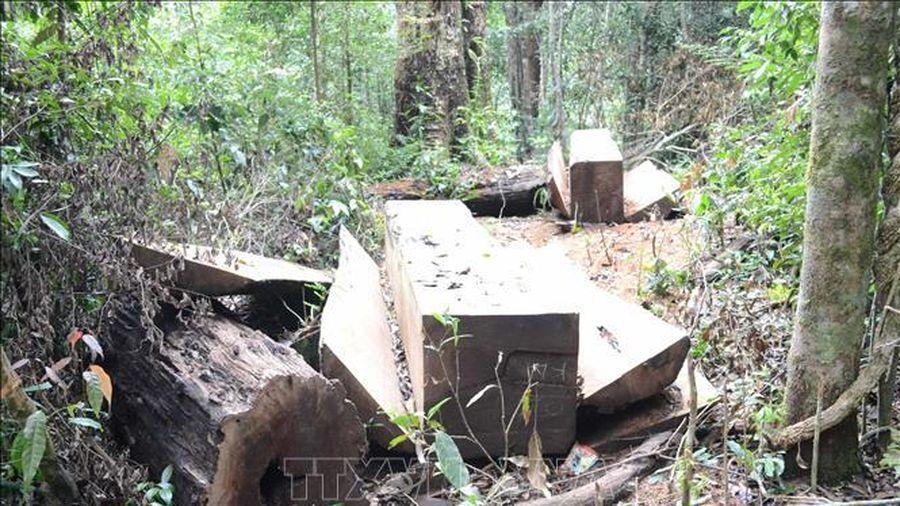 Lập 2 đoàn công tác làm rõ việc 'bức tử' rừng thông phòng hộ tại Đắk Nông