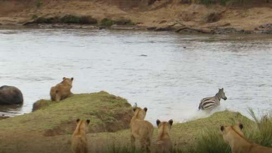 CLIP: Bị sư tử mai phục, ngựa vằn vẫn may mắn thoát chết