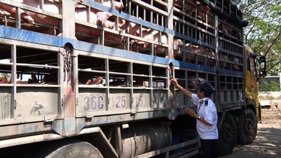 Tập trung ngăn chặn tình trạng vận chuyển lợn qua biên giới