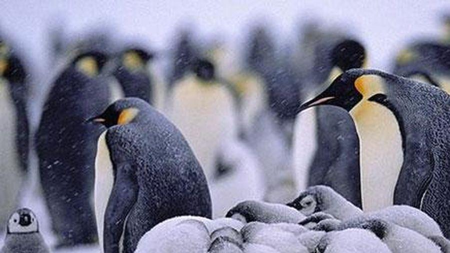 Khám phá đời sống băng giá nhà chim cánh cụt