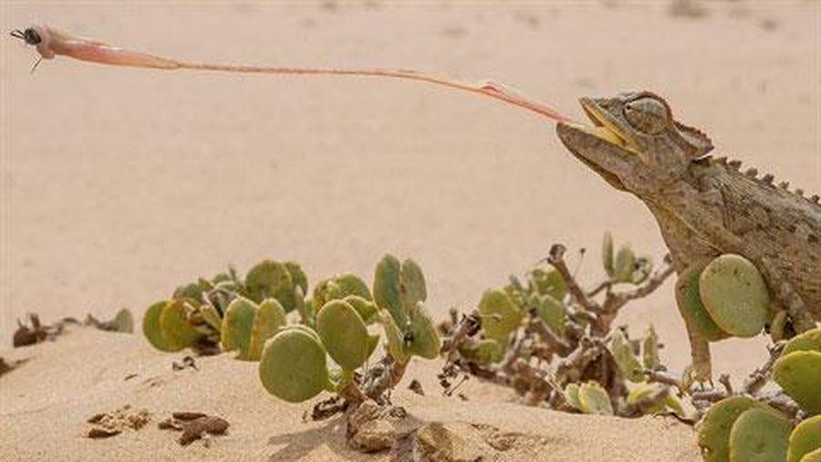 Tắc kè khoe tuyệt kỹ săn mồi 'thần sầu' giữa sa mạc