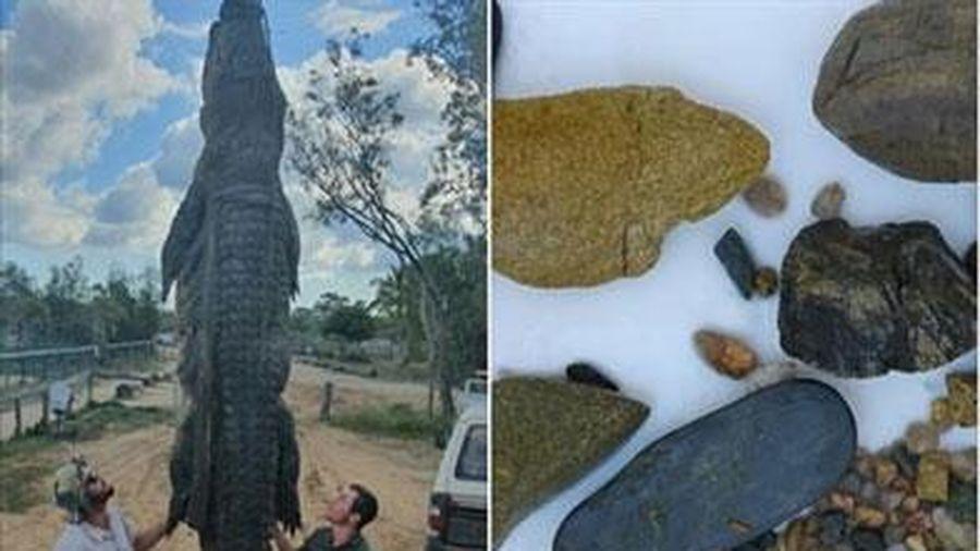Mổ cá sấu nước mặn khổng lồ phát hiện thứ kỳ lạ