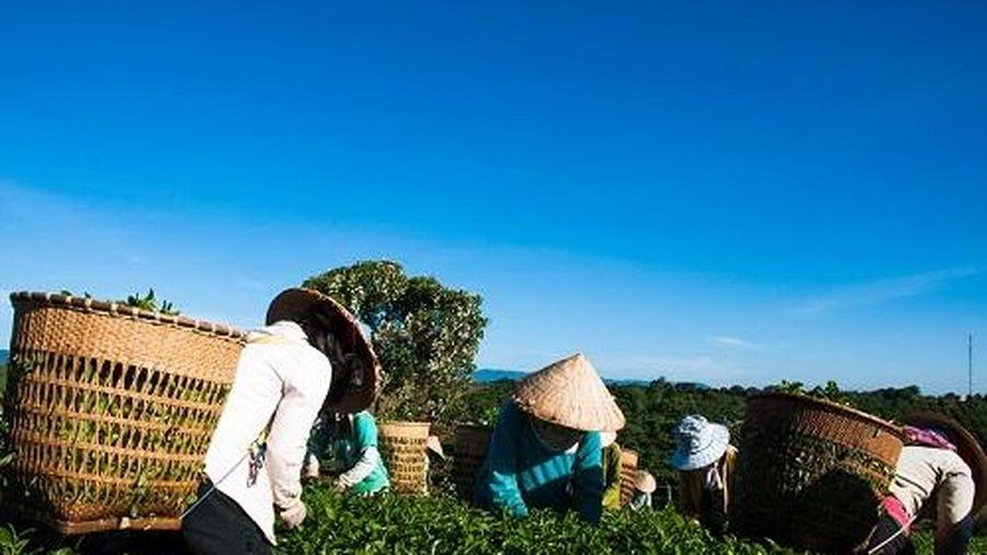Tìm 'Bàn tay vàng' trong làng hái trà tại Tuần Văn hóa Trà và Tơ lụa Lâm Đồng 2019