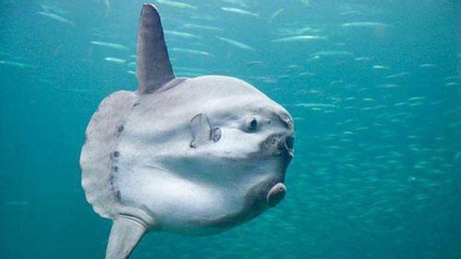Hình ảnh hiếm hoi về loài cá kỳ lạ nhất hành tinh