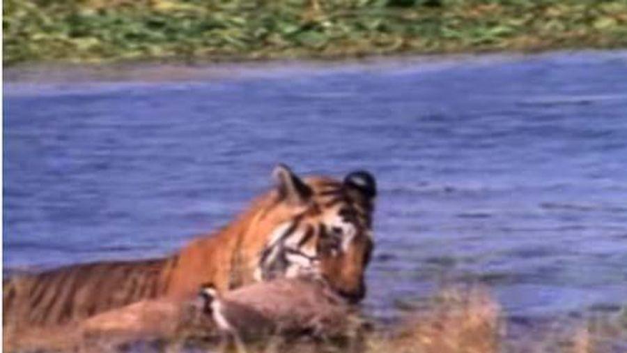 CLIP: Hổ lao xuống sông cướp mồi của cá sấu