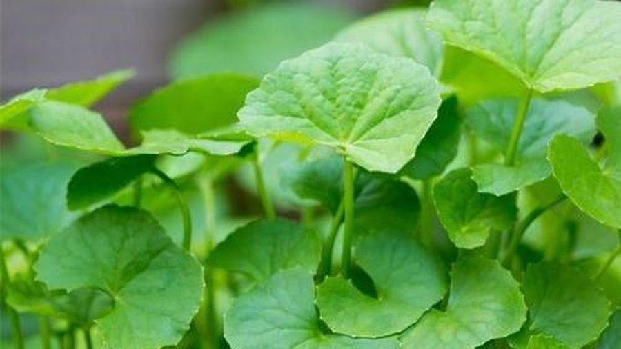 Lợi ích tuyệt vời của rau má và những lưu ý khi dùng