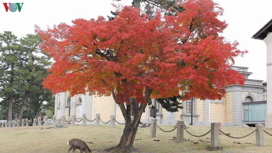 Đến công viên lớn nhất Nhật Bản ngắm nai vàng ngơ ngác