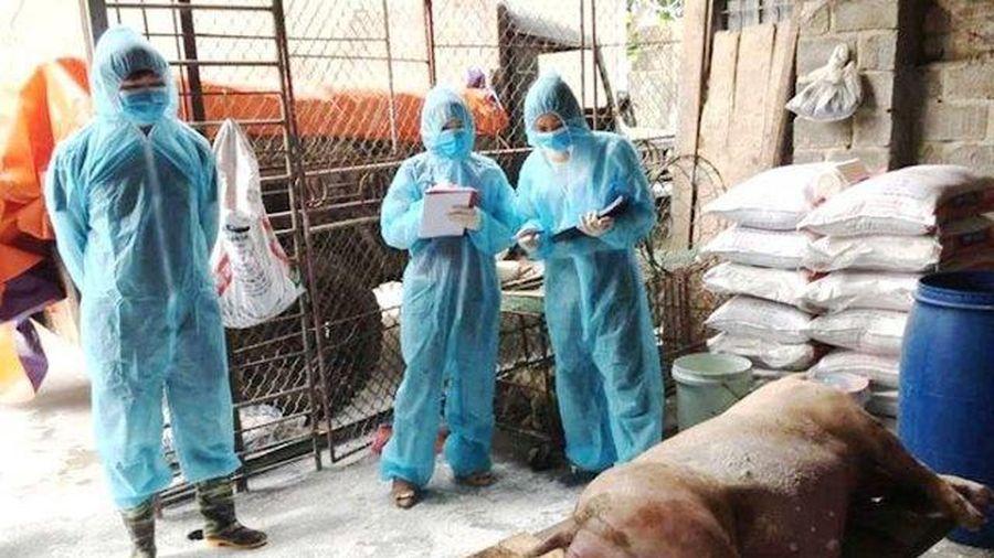 Hà Nội không hỗ trợ, xử lý nghiêm hộ tái đàn lợn không khai báo