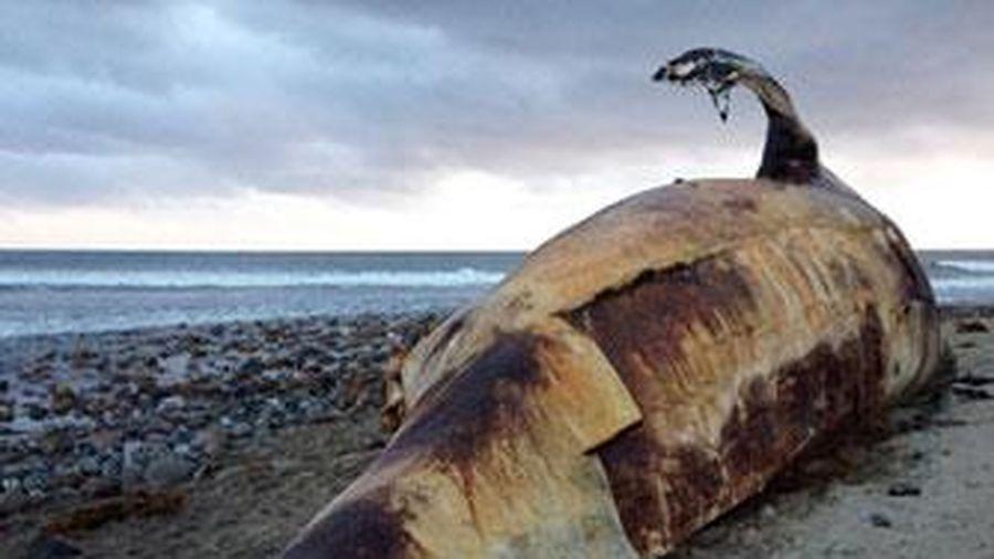 Cá voi 'quái vật' 27 tấn bốc mùi trên bãi biển