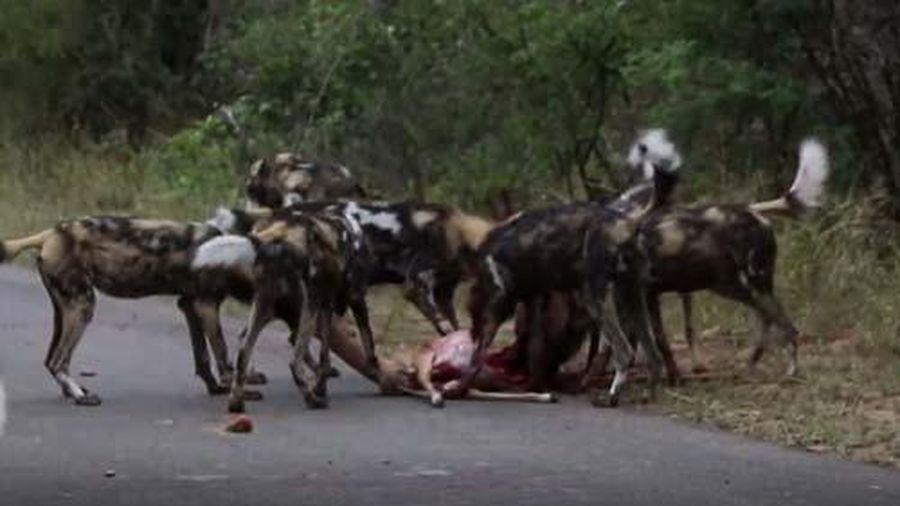 CLIP: Linh dương Impala chết thảm khi chạm mặt chó hoang