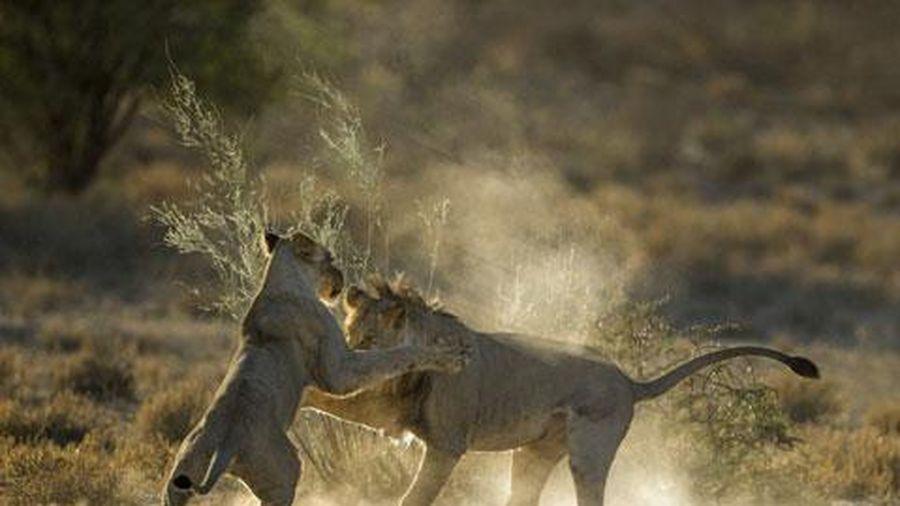 Ghen tuông, vợ chồng sư tử 'hạ cẳng tay thượng cẳng chân'