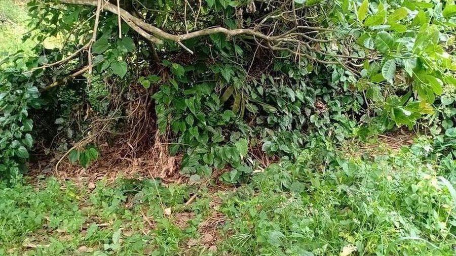Bình Phước: Người dân hoảng hồn khi phát hiện thi thể người đang phân hủy trong vườn điều