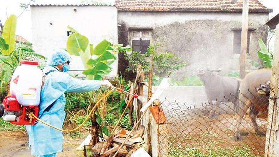 Lơ là phòng dịch, bệnh lở mồm long móng tái phát ở Quảng Bình