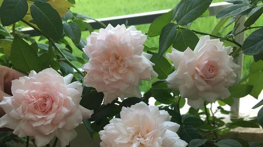 Xiêu lòng trước vườn hồng khoe sắc rực rỡ của bà mẹ ở Hải Phòng
