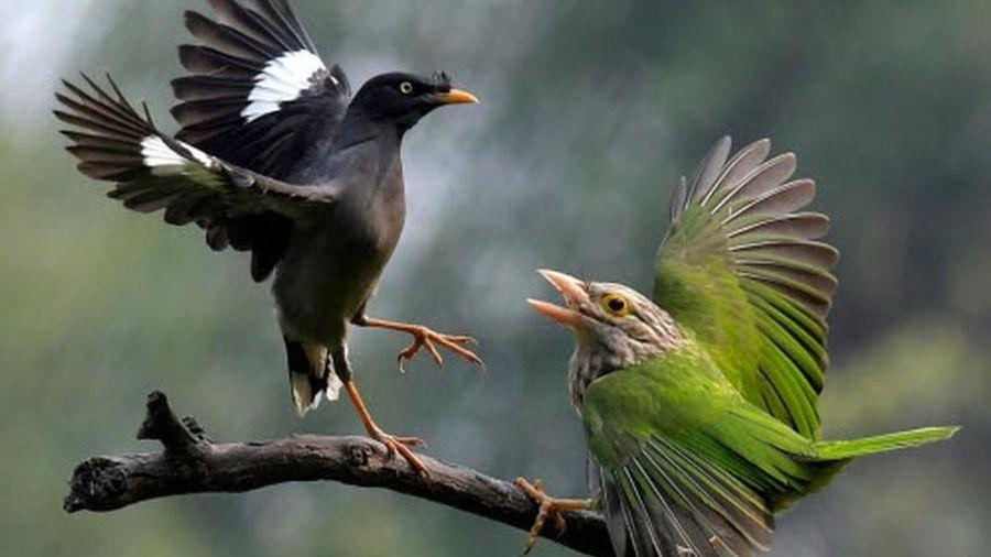 Ảnh động vật: Chim cu rốc quyết chiến, châu chấu ân ái...