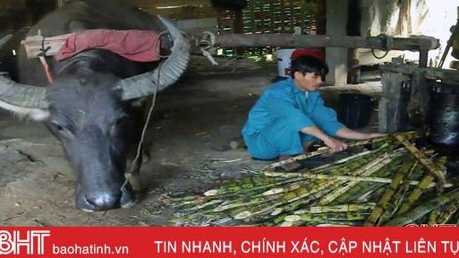 Độc đáo dùng trâu 'kéo che ép mật' ở Hà Tĩnh