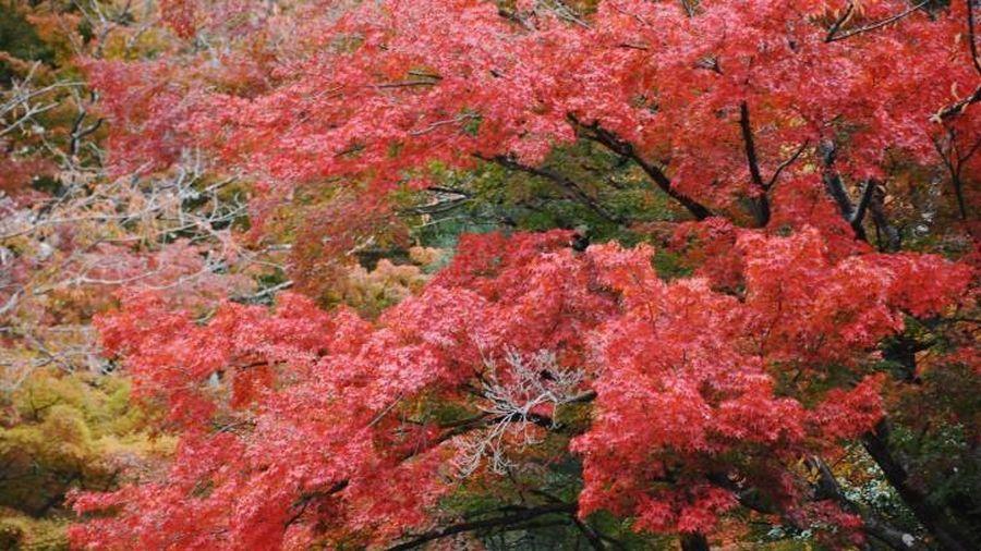 Đến Nhật Bản mùa Thu, vãn cảnh đền chùa ngắm lá vàng, lá đỏ