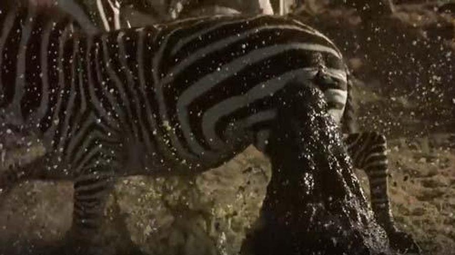CLIP: Ngựa vằn thoát chết thần kỳ khi bị cá sấu tấn công