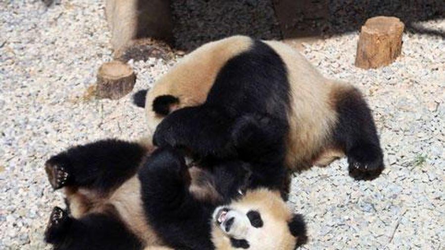 Kungfu Panda phiên bản gấu trúc thực tế siêu đáng yêu