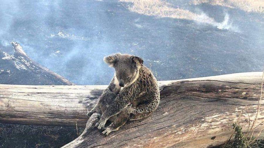 Gấu túi đối diện với nguy cơ tuyệt chủng do hỏa hoạn tại Australia