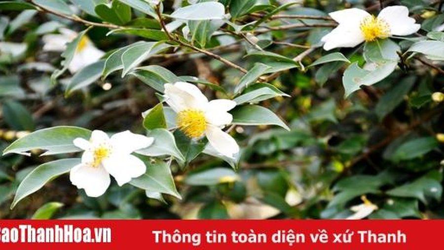 Mơ màng mùa hoa Sở