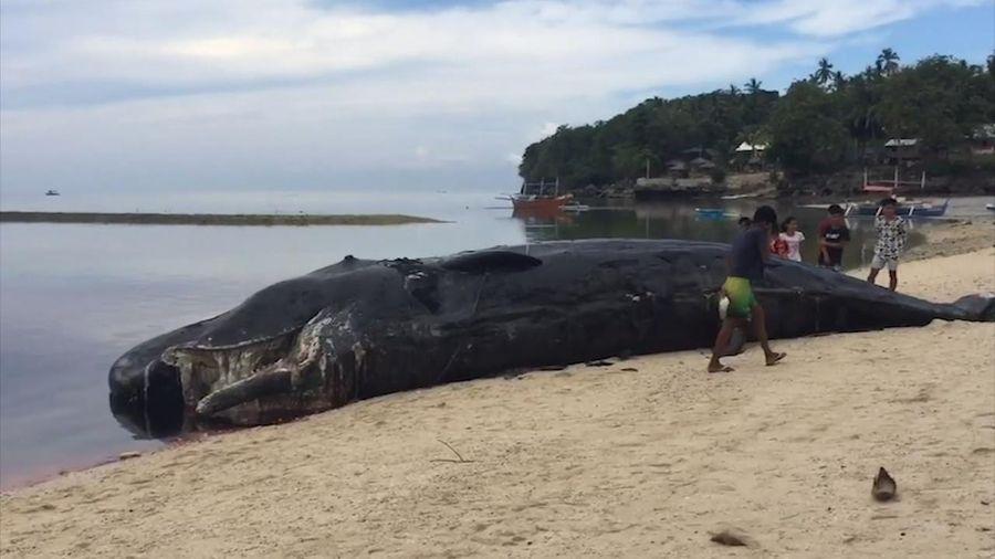 Xác cá nhà táng dài 12 m dạt lên bờ biển Philippines