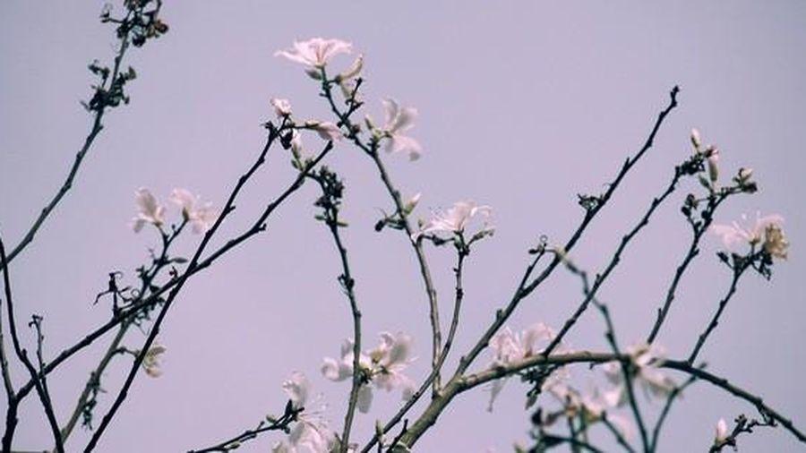Đến Đà Lạt ngắm những bông hoa 'tuyết trắng'