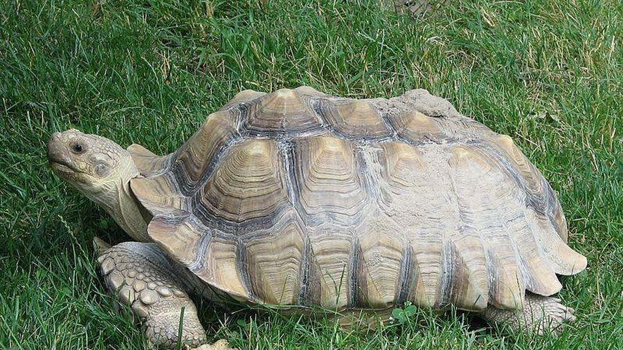 Rùa Sulcata 'siêu to khổng lồ' xuất hiện ở Hà Nội có gì độc lạ?