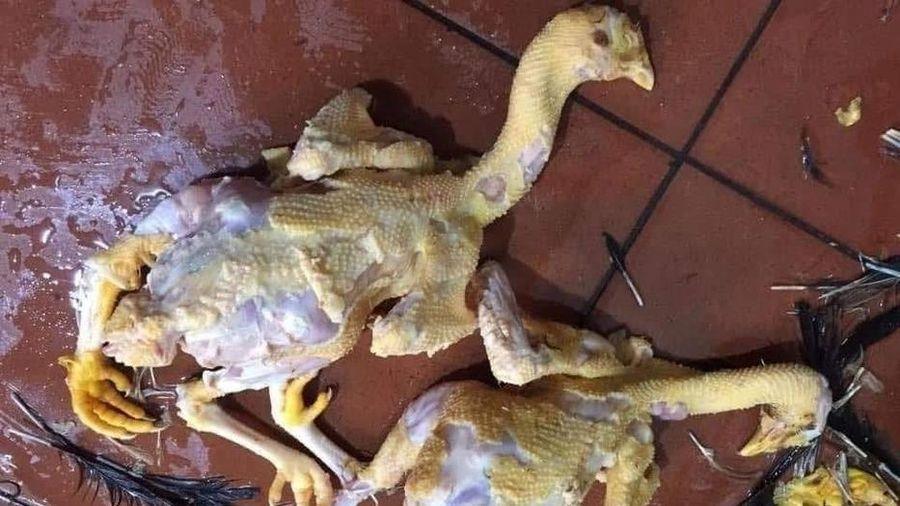 Trổ tài làm thịt gà, cô gái khiến nhiều người nổi da gà khi nhìn thành phẩm