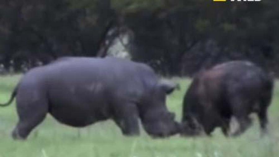 CLIP: Trâu rừng đại chiến tê giác