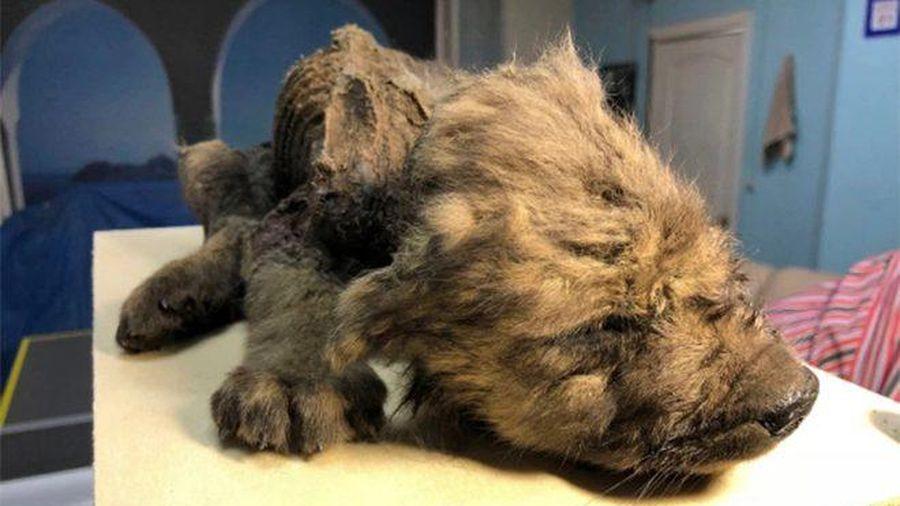Xác ướp của chú cún 18.000 năm tuổi gây kinh ngạc vì hệt như lúc còn sống