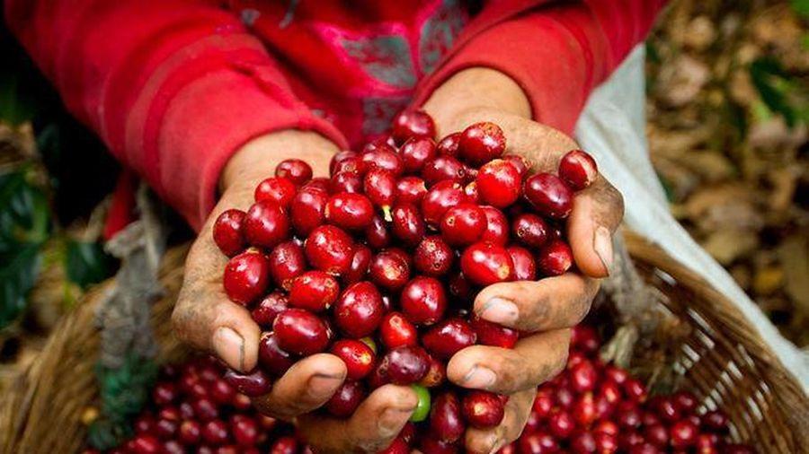 Giá cà phê hôm nay 27/11: Vì sao sụt giảm thê thảm 1.000 đồng/kg?