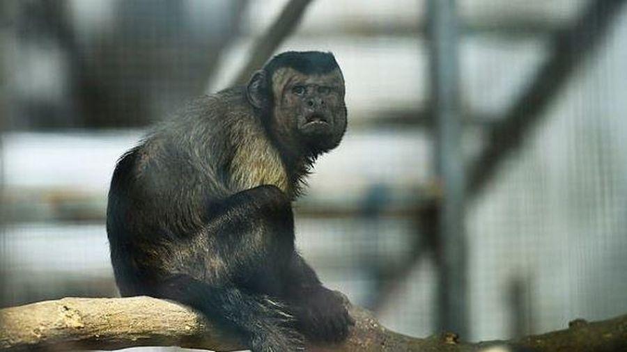 Khỉ mang khuôn mặt 'người đàn ông đau khổ' gây sốt tại Trung Quốc
