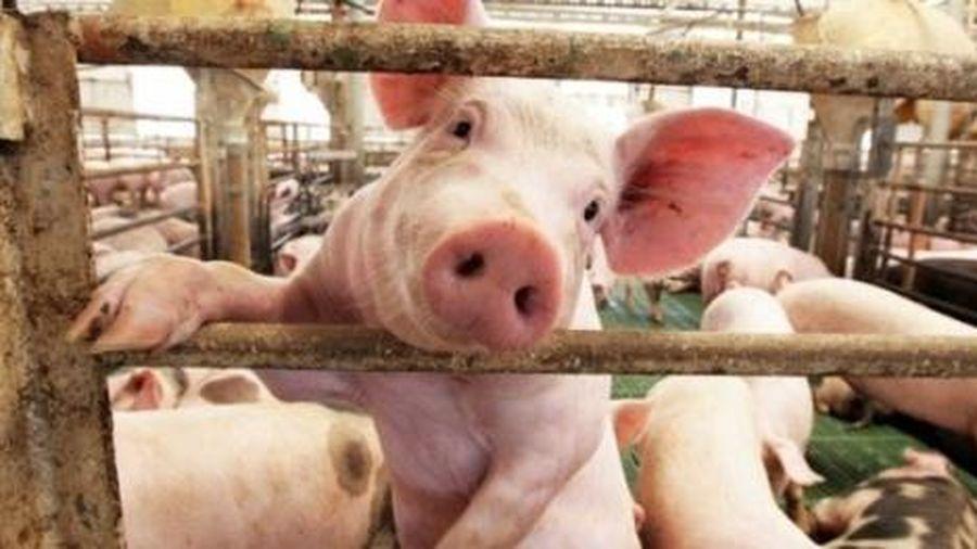 Cuối tuần: Giá lợn hơi được dự báo giảm nhẹ