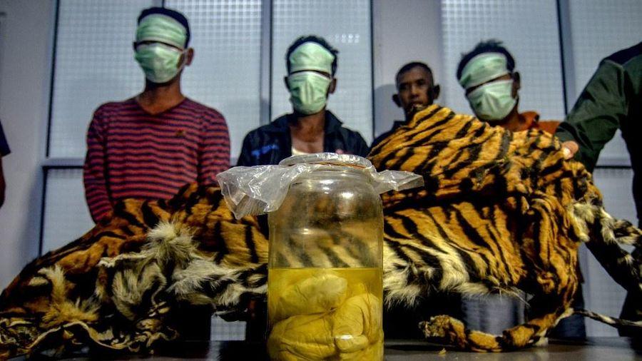 Năm người Indonesia bị bắt vì sở hữu bào thai hổ Sumatra quý hiếm
