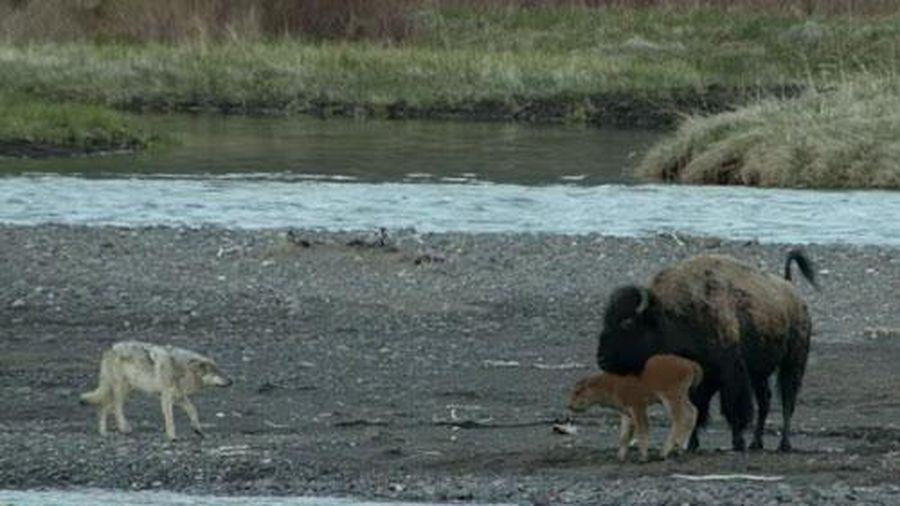 Kinh hoàng khoảnh khắc nghé con bị sói quây giết