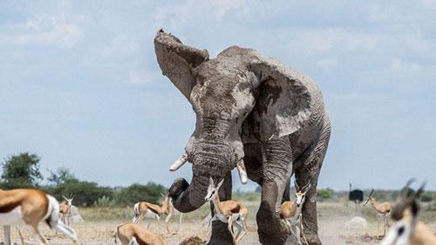 Voi đực khổng lồ xấu tính giành chỗ của linh dương