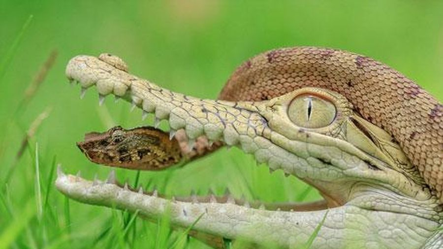 Rắn nâu to gan chui đầu vào hàm cá sấu