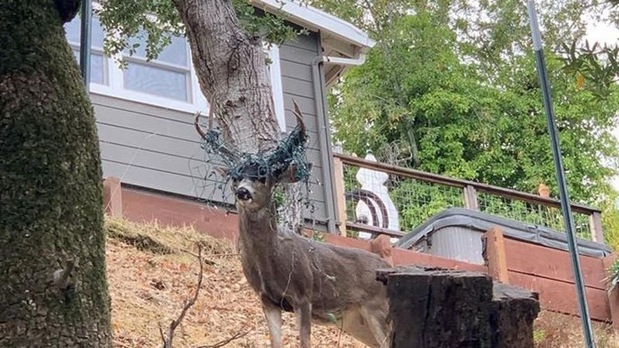 Độc đáo chú hươu kỳ lạ 'trang trí' sừng gạc đón Giáng sinh