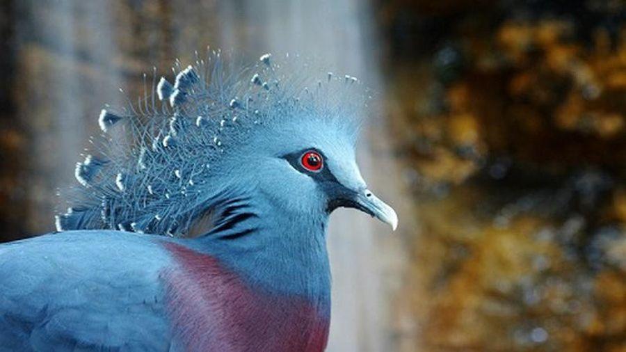 'Nghiêng nước nghiêng thành' vẻ đẹp loài bồ câu 'tuyệt sắc giai nhân'