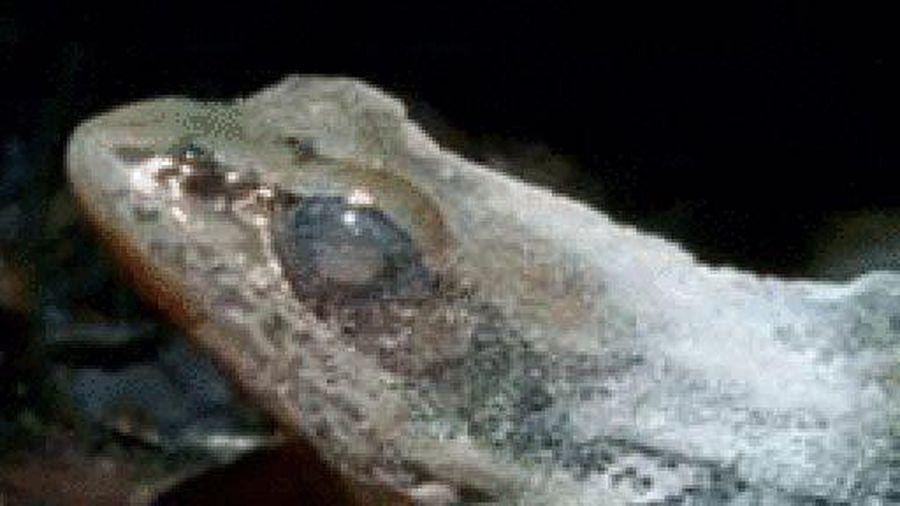 Chiến thuật đặc biệt của loài ếch gỗ: 'Ngừng sống' để vượt qua giá lạnh