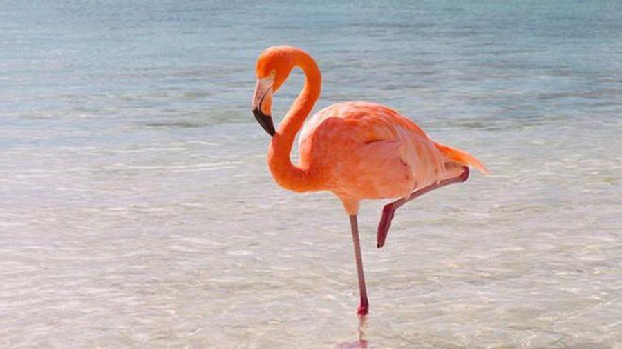 1001 thắc mắc: Kỳ lạ sao chim hồng hạc 'thích' đứng một chân?