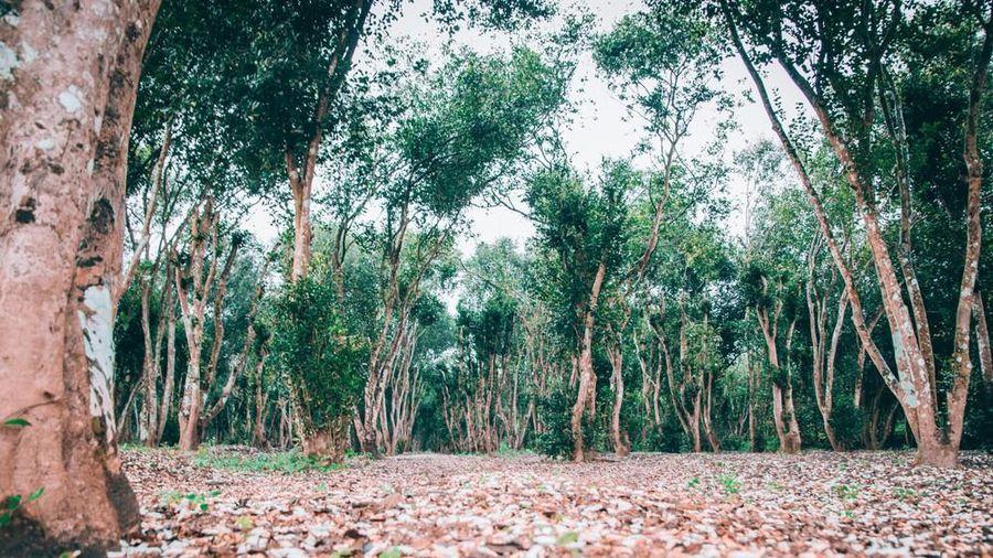 Khám phá vẻ đẹp hiếm có của rừng sở 60 tuổi ở Nghệ An