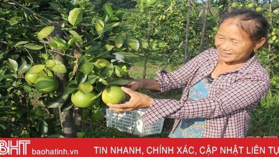 Xứ bưởi Hà Tĩnh ước thu gần 840 tỷ đồng từ 2 loài cây ăn quả chủ lực