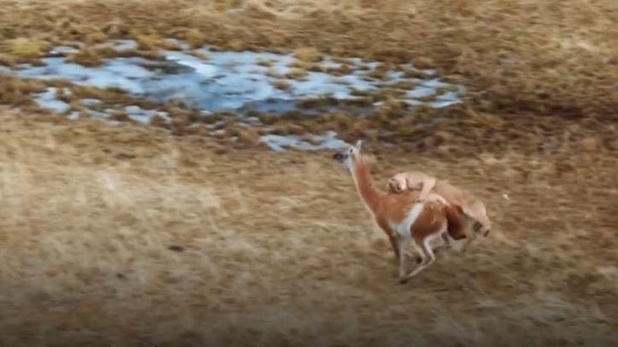 Lạc đà Guanaco một mình chống chọi đàn báo sư tử và cái kết bất ngờ