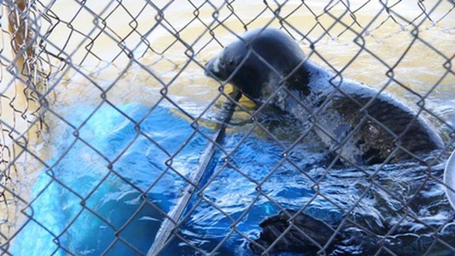 Phát hiện cá thể trông giống hải cẩu trên bãi biển tại Thừa Thiên-Huế