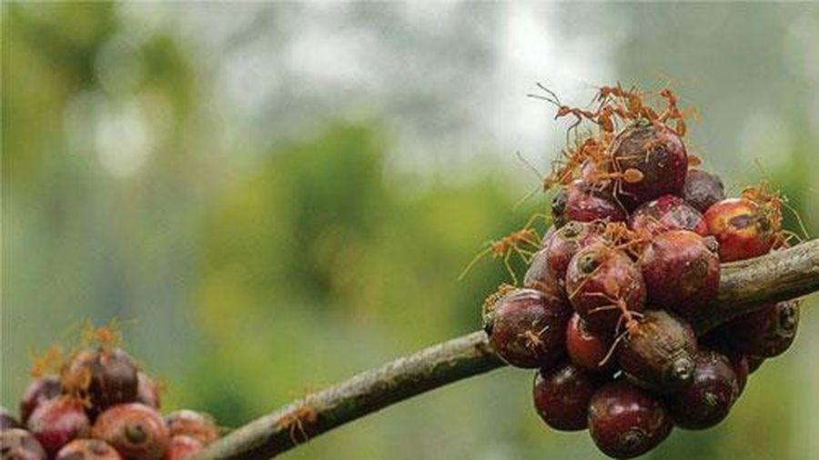 Đặc sản cà phê kiến: Cầm cốc uống mà tưởng cầm đá quý hiếm trên tay