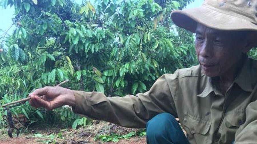 'Thợ săn' vào rẫy cà phê lùng loài vật nhỏ xíu, đen sì nhưng cực độc